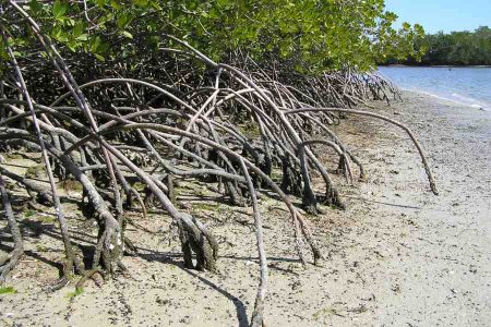 mangrove roots in clay
