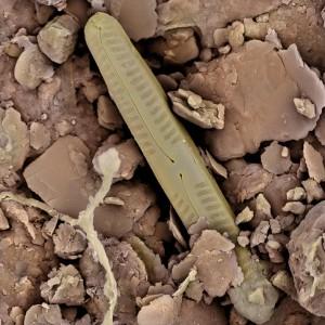CLAY.diatom.1lowres